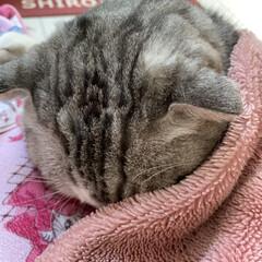 外に出れない/コロナウイルス/眠い/スコテッシュフォールド 今日の朝ののんちゃん🐈❤️⤴️  眠たく…