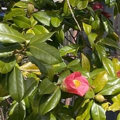 コロナウィルス/春 昨日、🏥帰り🚲椿の花❤️  とても可愛い…