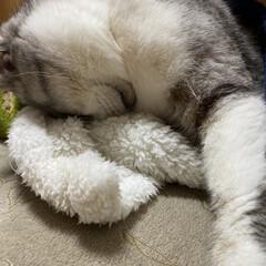 猫達との冬暮らし/スコティッシュ/モコモコ、ファファ のんちゃん❤️  ファファモコモコ❤️ …