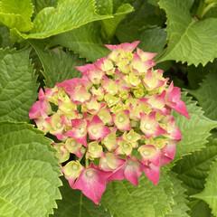 可愛い花達/ピンク色の紫陽花/散歩 この紫陽花は散歩中に見つけました❤️  …
