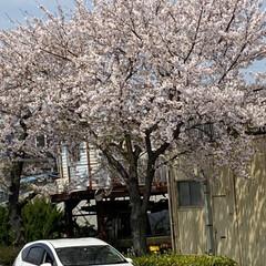 通院/桜🌸 通院の帰り🚲  桜が🌸とても綺麗🌸  今…(6枚目)