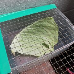 花壇/ほっこり/幸せ/おうち時間/アゲハ蝶 我が家の花壇にもアオムシが‼︎ 何処から…(2枚目)