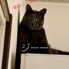 猫あるある/はいねこ/猫のいる暮らし/暮らし めちゃ、ガン見してくるーーー❗️