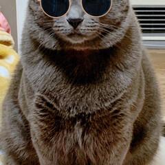 ねこ うちのボス猫レイくんにサングラスかけてみ…