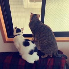 仲良し猫/猫/住まい/暮らし/はじめてフォト投稿/猫と暮らす 仲良しにゃんず 窓から鳩さんを毎朝眺める…