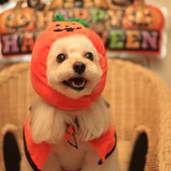 ハロウィン/ミックス犬/マルプー/ペット/犬 今年もハロウィンの季節がやってきたので、…