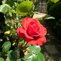 バラ/薔薇/UVカット/日焼け対策/紫外線対策 「薔薇」と言う単語を聞いてイメージする …