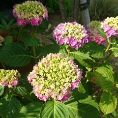 アナベル/アジサイ/UV手袋/UVカット/UV対策/UV/... アナベルは咲き始めました。 アジサイはも…(2枚目)