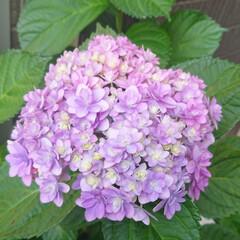 玄関/花のある生活/花のある暮らし/花/アジサイ/紫陽花/... 玄関の横に植えてる紫陽花が咲き始めました…(2枚目)