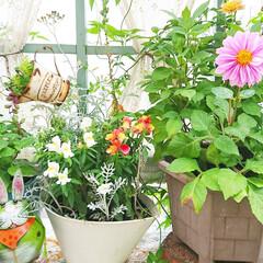 ガーデニング雑貨/雑貨/建売住宅/庭/ガーデニング/ガーデニング初心者/... 最近雨続きですがお庭のダリアがキレイに咲…