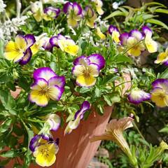 ガーデニング初心者/ガーデニング/マイガーデン/ガーデン/切り戻したお花/ビオラ/... 今日のマイガーデン✨  切り戻したビオラ…