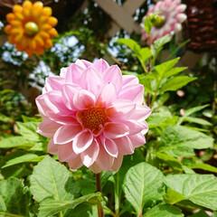 2年目ダリア/ダリア/花のある生活/花のあるインテリア/花のある暮らし/花/... 梅雨入りした関東ですが今日は久しぶりに晴…