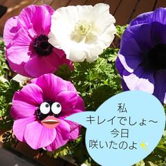 花のある風景/花のある生活/花のある暮らし/手作り/diyウッドデッキ/ウッドデッキ/... 今日は暖かくて 2日前にアップしたアネモ…(3枚目)