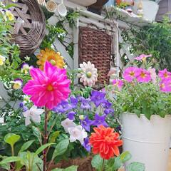 ナチュラルガーデン/DIY/DIYガーデン/庭/花のある生活/花のある暮らし/... ピンクのダリアとオレンジのダリアが綺麗に…