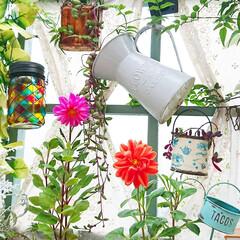 ダリア/diyウッドデッキ/ウッドデッキ/ガーデニング初心者/ガーデニング/庭/... 毎日どんよりしたお天気☁️  お花の置い…
