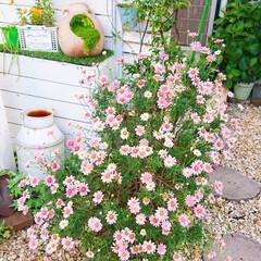 ガーデニングdiy/ガーデニング/玄関アプローチ/玄関/花のある風景/花のある生活/... 玄関前のマーガレット🌷✨ たくさん咲いて…