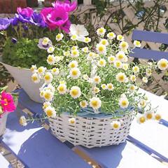 花のある暮らし/ナチュラルガーデン/DIYガーデン/DIY/カゴ/ナチュラルキッチン/... お気に入りの花かんざしです🌼✨  ナチュ…