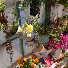 ガーデニング初心者/春/モッコウバラ/花のある生活/花のある暮らし/ガーデニング/... 今日は良いお天気でしたね🌞  朝、窓を開…