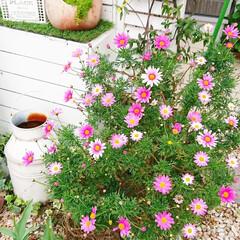 ナチュラルガーデン/DIY女子/DIY花壇/DIYガーデン/花のある生活/花のある暮らし/... 今日のマイガーデン🌼✨  玄関前に作った…