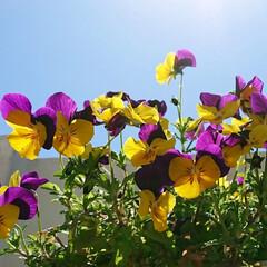 おうち時間/庭/お花/癒し/ビオラ/花のある生活/... 今日は青空で気持ちの良い時間を過ごせまし…
