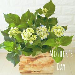 mother'sday/あじさい/鉢/鉢カバー/母の日/グリーン/... あじさいが好きな母のためにDIYした鉢に…