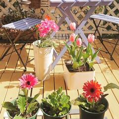 ガーデニング初心者/ガーデニング/ウッドデッキ/DIYガーデン/ナチュラルガーデン/ラナンキュラス/... ガーベラのピンクが咲きました~🌼✨  2…
