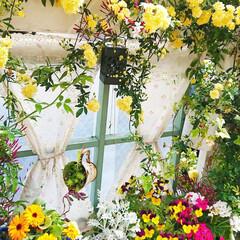 花/花のある生活/花のある暮らし/ビオラ/蕾/モッコウバラ/... 今日のマイガーデン🌼✨  モッコウバラが…
