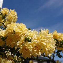 満開/コデマリ/モッコウバラ/春の花/花/花のある生活/... 先日晴れた日のpicです😌 モッコウバラ…(2枚目)