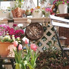 diyウッドデッキ/ウッドデッキ/ナチュラルガーデン/DIYガーデン/花のある生活/花のある暮らし/... 先日咲いたチューリップが 少し濃いピンク…