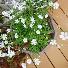 ガーデニング初心者/ガーデニング/ナチュラルガーデン/庭/花のある生活/花のある暮らし/... 近所の方にもらったカスミソウの種を 3月…