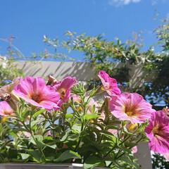 ペチュニア/空/花のある生活/花のある暮らし/花/ガーデニング初心者/... 今朝のマイガーデン✨  今日は朝から凄く…
