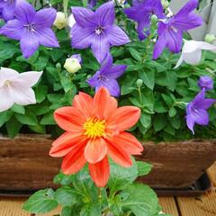 ガーデニング初心者/ガーデニング/花/花のある生活/花のある暮らし/ダリア/... 毎日雨ばかりでお庭のお花が心配ですが 綺…