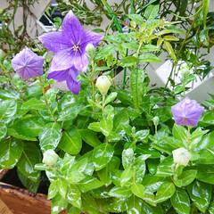 マイガーデン/庭/花のあるインテリア/花のある生活/花のある暮らし/キキョウ/... 今日は朝から凄く雨が降っていました☔  …