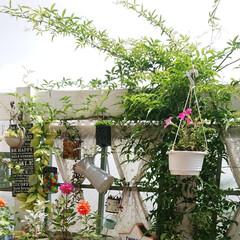 ウッドデッキ/グリーンのある生活/グリーンのある暮らし/モッコウバラ/庭/ガーデニング/... 今年の梅雨は長いですね💦  天気の悪い日…(1枚目)