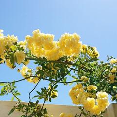 お天気/庭/花/青空/モッコウバラ/花のある生活/... 良い天気~😆✨  昨日の大雨でだいぶお花…