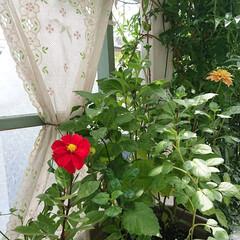 マイガーデン/ガーデニング初心者/ガーデニング/グリーンのある生活/グリーンのある暮らし/花のある生活/... 今日は赤いダリアが咲きました~😍✨ グリ…(1枚目)
