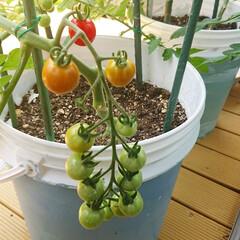 栽培/グリーンのある生活を目指して/グリーンのある生活/グリーンのある暮らし/野菜栽培/トマト/... 育ててるトマトが赤くなりはじめました~😆…