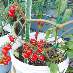 ナチュラルガーデン/ガーデン/ガーデニング/家庭栽培/トマト/庭/... 今日のマイガーデン🍅✨  ウッドデッキで…