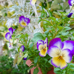 庭/花のある生活/花のあるくらし/ビオラ/花/雑貨/... 昨年11月からずっと咲き続けているビオラ…