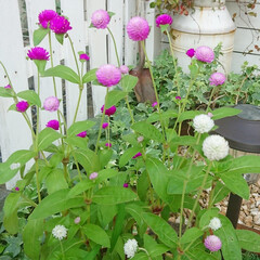 花のある生活/花のある暮らし/花/玄関アプローチ/千日紅/ガーデニング/... 今日のマイガーデン🌼✨  今日も暑い1日…