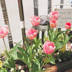 楽しみ/玄関アプローチ/花壇/DIY花壇/チューリップ/花のある生活/... 楽しみにしていたチューリップが咲きました…