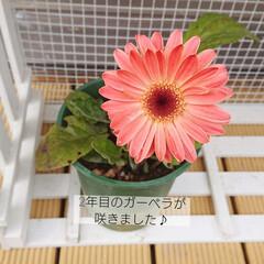 ガーベラ/花のある暮らし/花/お花のある暮らし/庭/雑貨/... 2年目のガーベラが咲きました~💕✨ お天…(1枚目)