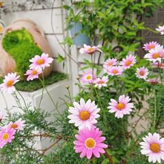 花のある生活/花のある暮らし/花/ナチュラルガーデン/ガーデン/DIYガーデン/... 玄関前の花壇に植えたマーガレット🌼✨  …