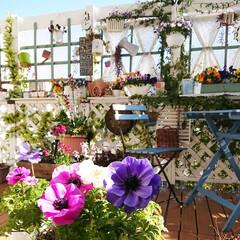 花のある風景/花のある生活/花のある暮らし/手作り/diyウッドデッキ/ウッドデッキ/... 今日は暖かくて 2日前にアップしたアネモ…