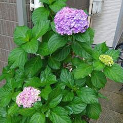 ガーデニング初心者/ガーデニング/玄関インテリア/玄関/花のある生活/花のある暮らし/... 玄関横のアジサイの色がだんだん濃くなって…