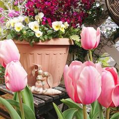 diyウッドデッキ/ウッドデッキ/ナチュラルガーデン/DIYガーデン/花のある生活/花のある暮らし/... 先日咲いたチューリップが 少し濃いピンク…(2枚目)