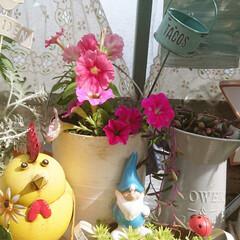 ガーデニング/建売住宅/庭/花のある暮らし/花のある生活/花/... 今日のマイガーデン🌼✨  挿し芽で増やし…