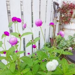 花のある暮らし/花のある生活/花/マイガーデン/DIYガーデン/玄関アプローチ/... 今日のマイガーデン🌼✨  種から育てた千…