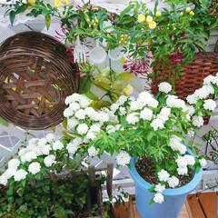 満開/コデマリ/モッコウバラ/春の花/花/花のある生活/... 先日晴れた日のpicです😌 モッコウバラ…(3枚目)