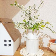 花のある暮らし/ユキヤナギ/ミルク缶/ナチュラルキッチンアンド/リミアな暮らし/暮らし 庭の雪柳が咲き始めました🤗✨  少しだけ…(1枚目)